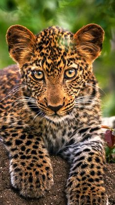 Leopard cub - one of the smaller Big Cats - http://pinstor.us/articles/african-lion-facts-the-sub-saharan-big-cats/