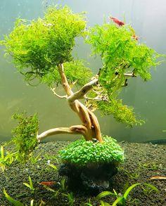 #ocwaterworld #dwarfbabytears #underwaterbonsai #aquascaping Dwarf Baby, Aquascaping, Orange County, Bonsai, Underwater, Under The Water, String Garden