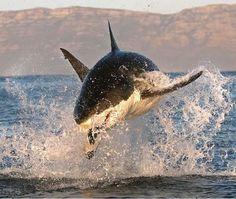 Tubarao branco caçando focas