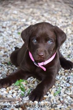 Mind Blowing Facts About Labrador Retrievers And Ideas. Amazing Facts About Labrador Retrievers And Ideas. Labrador Retriever Chocolate, Perro Labrador Retriever, Chocolate Lab Puppies, Retriever Dog, Chocolate Labs, Labrador Puppies, Corgi Puppies, Chocolate Lab Blue Eyes, Labrador Quotes