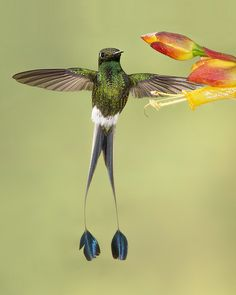 tiny-creatures:  Booted Racket-tail Inflight by Jeff Dyck on Flickr.
