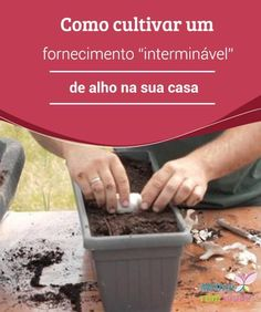 """Como #cultivar um #fornecimento """"interminável"""" de alho na sua casa Você sabia que pode cultivar o #alho dentro de #casa? Ele é muito fácil de ser cultivado em vasos, e a única coisa que precisamos é ter bastante paciência."""