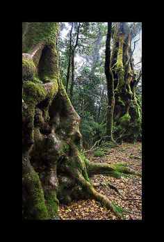 Ancient Trees, Rain Forest, Queensland, Australia, Roberto Portolese