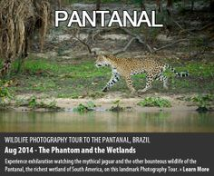 Experience exhilaration watching the mythical jaguar and the other bounteous wildlife of the Pantanal, the richest wetland of South America, on this landmark Photography Tour.  http://toehold.in/phototours/2014/pantanal-jaguar-photography-expedition-august.php