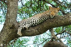 A luxury game lodge located in the Timbavati, which is adjacent and open to the Kruger National Park, offering an unparalleled safari experience. Game Lodge, Private Games, Kruger National Park, Nature Reserve, Where To Go, Safari, African, Animals, Animales