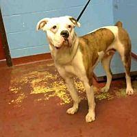 Atlanta Ga Boxer Meet Polly A Dog For Adoption Pets Animal