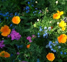 Who says you can't grow wildflowers in the shade? Partial Shade Wildflower Seed Mix - Wildflower Seeds from American Meadows. Pieris Japonica, Dianthus Barbatus, Garden Shrubs, Shade Garden, Garden Plants, Gypsophila Elegans, High Country Gardens, Grey Gardens, American Meadows