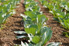 Kohlpflanzenfeld Felder, Agriculture, Cabbage, Vegetables, Photos, Napa Cabbage, Plants, Vegetable Recipes, Veggie Food