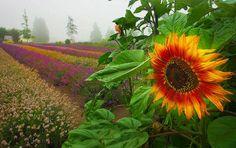 The Last Sunflower Sequim Washington Vincent Van Gogh, Provence, Sequim Washington, Planting Sunflowers, The Fiery Cross, Drums Of Autumn, Sunflower Wallpaper, Widescreen Wallpaper, Wallpapers