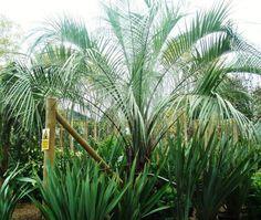 Pindo palms   Jelly Palm. Pindo Palms. Butia Capitata For Sale Online UK