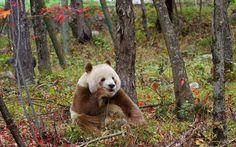 Panda Facts - Interesting Facts about Pandas Interesting Panda Facts) Panda Gif, Panda Funny, Panda Love, Cute Panda, Brown Panda, Panda Facts, Animals And Pets, Cute Animals, Panda Bears