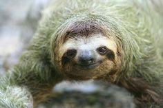 Three Toed Sloth.