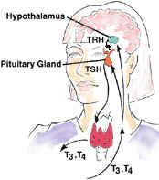 Normal pituitary-thyroid feedback loop.   Knowledge of this thyroid physiology is important in knowing what thyroid test or tests are needed to diagnose different diseases.