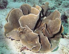 Turbinaria bifrons is the rarest stony coral you've never heard of