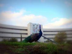 Pavorreal en el campus con edificio CIAP al fondo   Peacock in campus with CIAP building backwards.