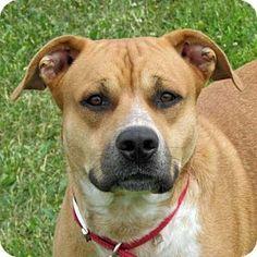 Madison, IN - Boxer Mix. Meet Bo, a dog for adoption. http://www.adoptapet.com/pet/12959256-madison-indiana-boxer-mix