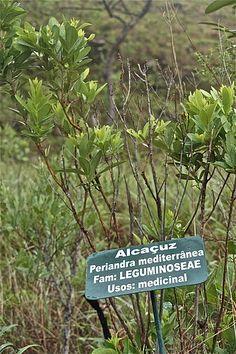 O chá de alcaçuz é repleto de propriedades e benefícios à saúde, sendo uma das mais antigas plantas a serem usadas para fins medicinais. Saiba mais!