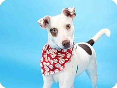 Maryland Heights, MO - Parson Russell Terrier. Meet LOU, a dog for adoption. http://www.adoptapet.com/pet/16205613-maryland-heights-missouri-parson-russell-terrier