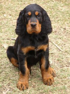 Gordon Setter pup. Gordon Setter dog art portraits, photographs, information and just plain fun. Also see how artist Kline draws his 110 different dog breeds using only words at drawDOGS.com #drawDOGS He also can add your dog's name into the lithograph.