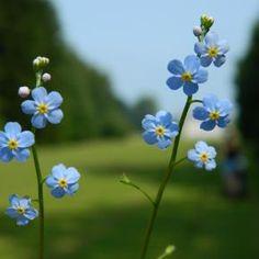 Pixdaus | Les Fleurs bleues By: nicubordianu
