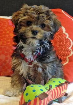 Pepper the Havanese.That is so sweet.Please check out my website thanks. www.photopix.co.nz