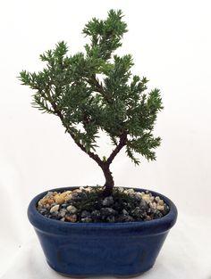 Miniature Japanese Juniper Bonsai Tree - Ceramic Bonsai Pot by HirtsGardens on Etsy https://www.etsy.com/listing/215199087/miniature-japanese-juniper-bonsai-tree