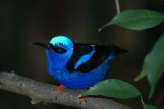 save the akikiki birds aka honeycreepers!