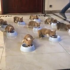 Funny video of puppies having meal ?Funny video of puppies having meal ? Funny Animal Memes, Cute Funny Animals, Funny Animal Pictures, Cute Baby Animals, Funny Dogs, Animals And Pets, Corgi Pictures, Corgi Funny, Cute Animal Videos