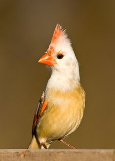 Female Cardinal with partial albinism