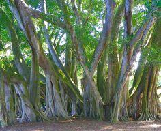 TROPICAL BANYAN TREES