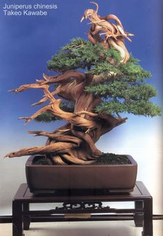 Bonsai… Juniperus Chinesis Indoor Bonsai, Bonsai Plants, Bonsai Garden, Bougainvillea Bonsai, Buy Bonsai Tree, Bonsai Trees, Indoor Palms, Indoor Outdoor, Mini Plantas