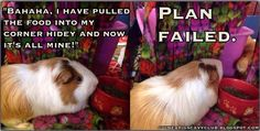 A blog about guinea pig care tips and cavy help.