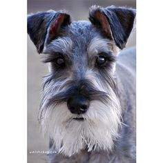 Rocket by Melissa Heard #Miniature #Schnauzer