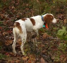 Brittany Spaniel pointing