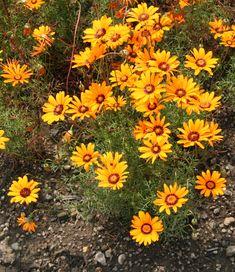 Ursinia anthemoides 50 graines