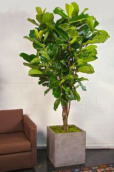 House Interior Plants 8' Ficus Lyrata, Fiddle Leaf Fig