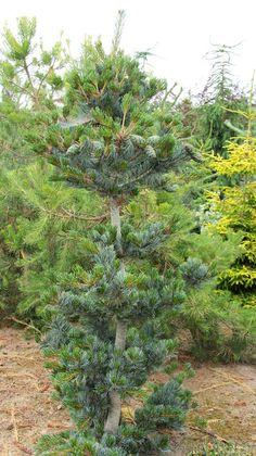 Mädchenkiefer Pinus parviflora Glauca 30-40cm  Bonsai geeignet