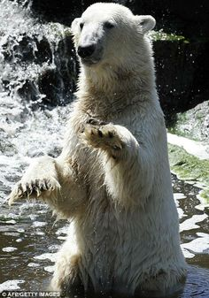 Polar bear Knut begs for food on June 17, 2010 in his enclosure at the Zoologischer Garten zoo in Berlin. At the young age of 4, Knut died of drowning after collapsing into a pool while suffering from encephalitis.