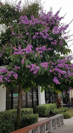 Lagerstroemia speciosa, Queen's crepe-myrtle (Pride Of India). Garden Shrubs, Garden Trees, Trees And Shrubs, Flowering Trees, Architecture Plan, Landscape Architecture, Hydrangea Tree, Myrtle Tree, Lagerstroemia