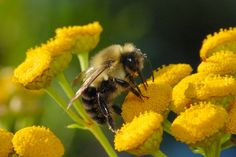 Fun & Interesting Facts About Bumble Bees