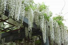 white wisteria on a pergola!