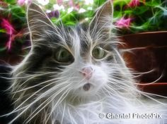 Close-up of my Cute Kitty Cat by Chantal PhotoPix, via Flickr