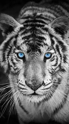 White Tiger Iphone Wallpaper Tiger Wallpaper Tiger Wallpaper Iphone Animals