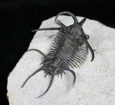 A Ceratarges armatus trilobite from the Middle Devonian limestone of Morocco.  View many other weird trilobites at FossilEra.com