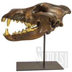 Dire Wolf Skull with Stand (Canis dirus) | WS-BC-020A