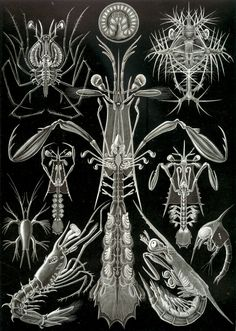 Ernst Haeckel – Art Forms of Nature: Thoracostraca