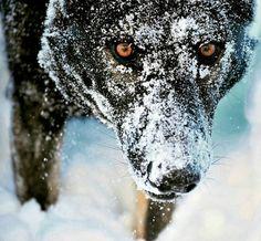Lobo negro lleno de nieve