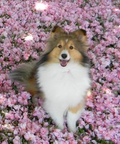 shelties pretty in pink