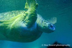Myrtle the Turtle at the New England Aquarium, Boston, MA. (c) Lisa Linard Photography.