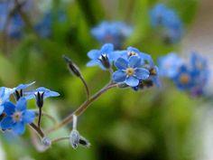 Vanhanajan perennat ja suloiset villikukat ovat luotettavia kukkijoita. Perennat eli monivuotiset kukkakasvit kukoistavat oikeissa oloissa
